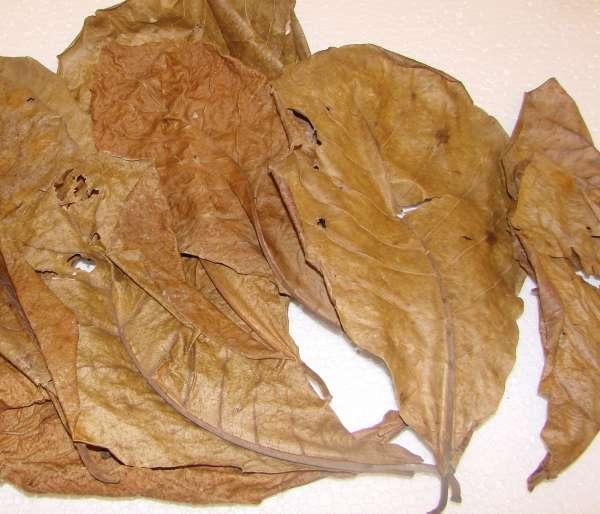 Seemandelbaumblätter, 10 Stück