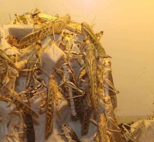 Wüstenheuschrecken, groß