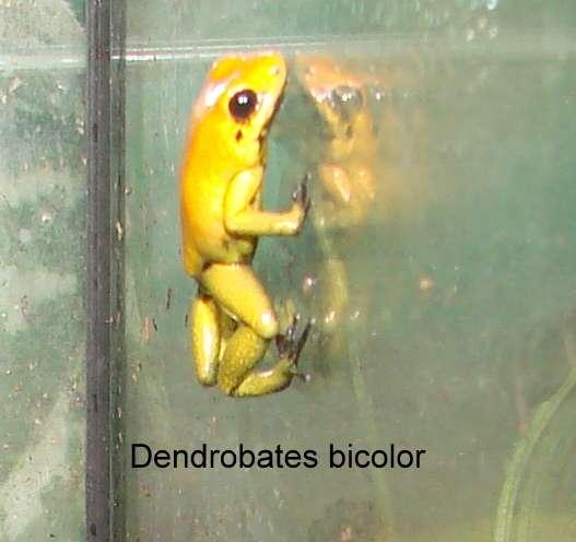 Dendrobates bicolor, Jungtiere