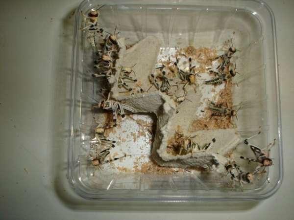Wüstenheuschrecken Dose klein