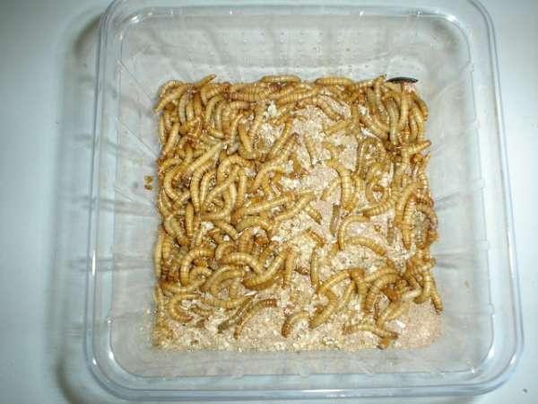 Mehlwürmer groß ca. 1000 g