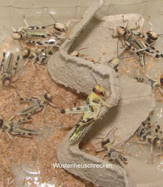 Wüstenheuschrecken klein