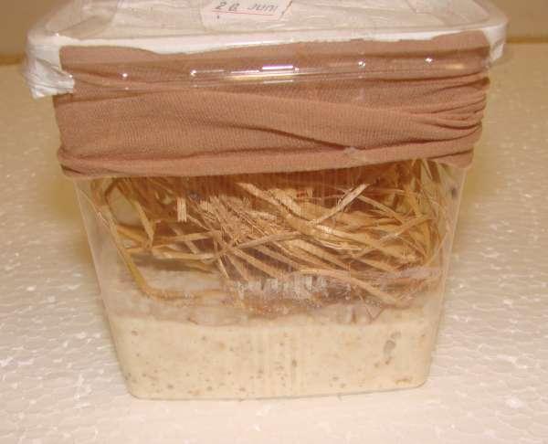 Drosophila hydei, schwarz, groß ca. 500 ml, Zuchtansatz