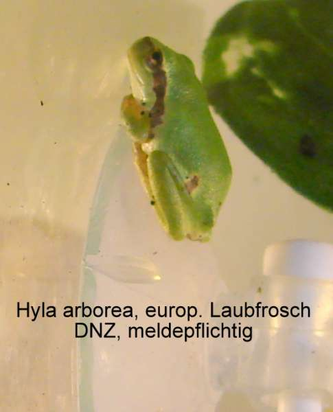Europ. Laubfrosch (Hyla arborea) Jungtiere