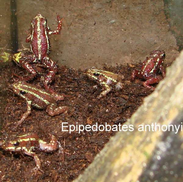 Epipedobates anthonyi adult