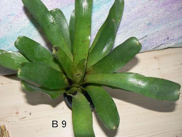 Neoregelia SM hybrid