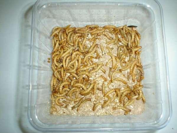 Mehlwürmer groß Dose