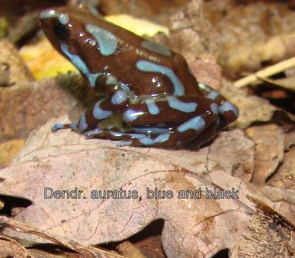 Dendrobates auratus blau