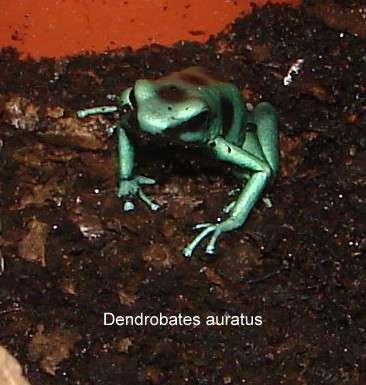 Dendrobates auratus grün