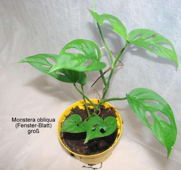 Monstera obliqua (Fenster-Blatt) groß