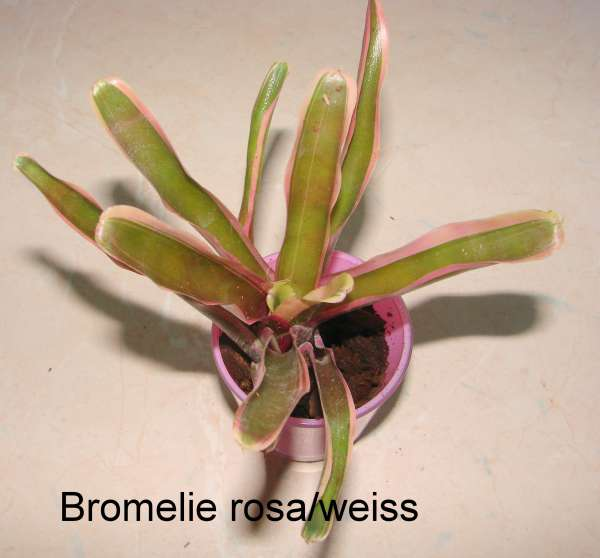 Bromelie rosa-weiss