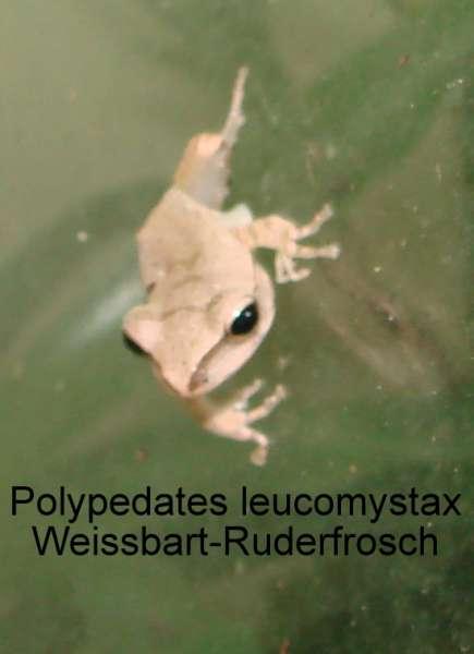 Weissbart-Ruderfrosch (Polypedates leucomystax)